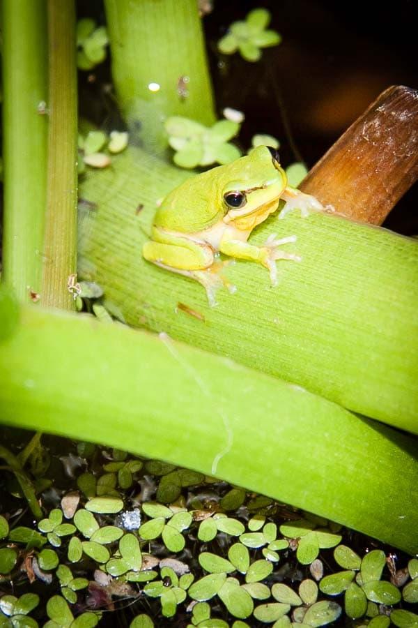 dwarf tree frog (Litoria fallax)